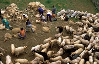 picos, shearing of sheep in Arenas de Cabrales