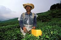 Cameron Highlands, picking tea
