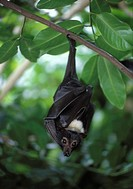 Australia, Queensland, Grey headed flying fox