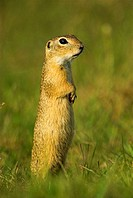 Suslik, European ground squirrel (Citellus citellus), standing, attentiveness, National Park Kiskunsag, Hungary