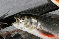 An Arctic char Salvelinus alpinus, which belongs to the Salmonidae family, is found in cold fell lakes in Finnish Lapland  Kilpisjarvi, Finland