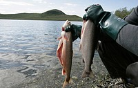 An Arctic char Salvelinus alpinus, which belongs to the Salmonidae family, is found in cold fell lakes in Finnish Lapland  Finland