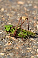Long-horned grasshopper   Joensuu, Finland
