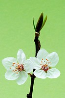 Bird cherry flower, Prunus sp., Rosaceae