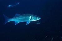 European Sea Bass (Dicentrarchus labrax), ria of Vigo. Pontevedra province, Galicia, Spain