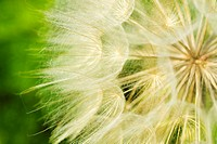 Dandelion, Close up