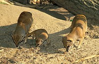 Yellow Mangoose,Cynictis penicillata,Africa,family with young cubs searching for food