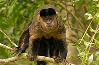 Black-horned, Capuchin