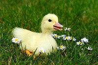 Domestic, Duck, duckling,