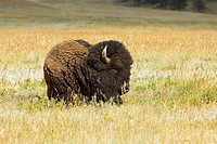 American Bison, also called American Buffalo (Bos bison)