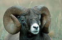 Bighorn, Sheep, ram, Jasper, national, park, Alberta, Canada, Ovis, canadensis