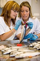 Biological sampling of mackerel. Otoliths extraction. Fishing biology laboratory. AZTI-Tecnalia. Technological Centre specialised in Marine and Food R...
