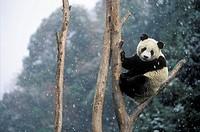 Giant Panda (Ailuropoda melanoleuca).  Wolong National Natural Reserve. China.