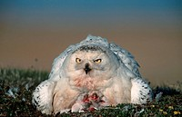 Snowy, Owls, female, with, chicks, Barrow, Alaska, USA,Nyctea, scandiaca