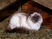 Sacred, Cat, of, Birma, Birman