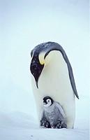 Emperor, Penguin, with, chick, Dawson-Lambton, Glacier, Antartica, Aptenodytes, forsteri
