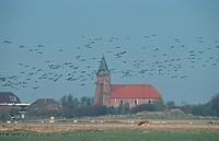 Barnacle, Geese, Westerhever, Schleswig-Holstein, Germany, Branta, leucopsis