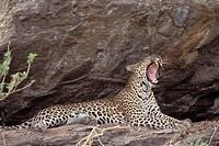 Leopard, yawning, Massai, Mara, Game, Reserve, Kenya, Panthera, pardus, side