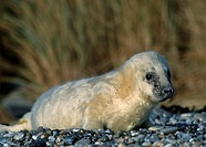 Grey, Seal, pup, Helgoland, Schleswig-Holstein, Germany, Halichoerus, grypus