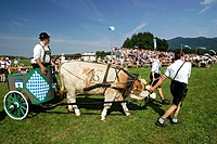 Men, with, ox, at, the, oxen, races, Bichl, Bavaria, Germany