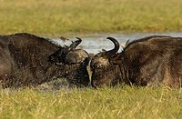Portrait of a Buffalo Syncerus caffer Pair Fighting in the Water  Masai Mara National Reserve, Kenya
