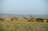 Reticulated Giraffe Giraffa camelopardalis reticulata Herd on an Open Plain  Lewa Wildlife Conservancy, Kenya