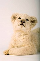 White Lion Panthera leo Cub Looking Up  Studio Shot