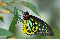 Cairns birdwing butterfly, wings closed