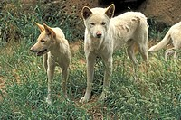 Dingo,Canis familiaris dingo,Australia,subadults in different ages