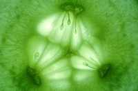 Extreme Close-up of a Cucumber Cucumis sativus  Studio Shot
