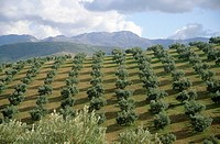 Rows of Young Trees on the Hillside  Antequera, Andalucia, Spain