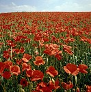 Field of Bright Red Poppy Flowers  England, United Kingdom