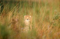 View of Two Young Cheetah Acinonyx jubatus in long Grass  Phinda Game Reserve, Kwazulu Natal Province, South Africa