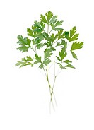 Petroselinum neapolitanum, Parsley - Flat leaf parsley
