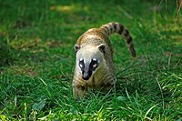Ringtailed Coati,Nasua nasua,South America,adult