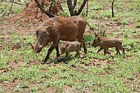 Warthog,Phacochoerus aethiopicus,Kruger National Park,South Africa,adult female with youngs