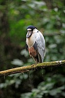 Boat-billed Heron,Cochlearius cochlearius,Pantanal,Brazil,adult,on tree