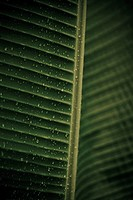 Palm leaf