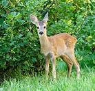 Chevrotain of Roe Deer ( Capreolus capreolus) . Russia, Voronezh preserve.