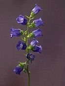 Spreading bellflower (thumbnail)