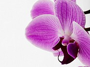 Phalaenopsis orchid