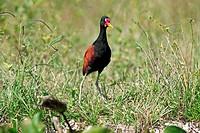 Wattled Jacana,Jacana jacana,Pantanal,Brazil,adult