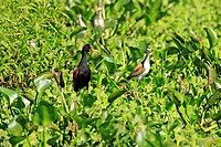Wattled Jacana,Jacana jacana,Pantanal,Brazil,adult,with immature,young