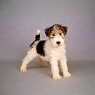 Foxterrier wire haired - puppy standing