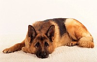 German Shepherd Dog - lying