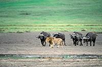 African Buffalo,Syncerus caffer,Ngorongoro Crater,Tanzania,Africa,group chase away lion