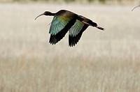 White-faced ibis (Plegadis chihi).