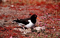 Haematopus ostralegus / Oystercatcher on eggs