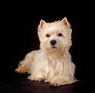 West Highland White Terrier - lying