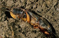 gryllotalpa gryllotalpa / mole cricket